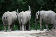 Elephant Trio Print by Karol  Livote