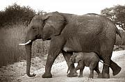 With Originals - Elephant Walk Sepia Tone by Joseph G Holland