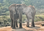Elephants - Coming And Going Print by Norma Rowley