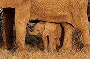 Kenya Wildlife Framed Prints - Elephants - Sheltered Baby Framed Print by Nancy Hall