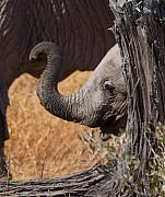Elephants - Shy Baby Print by Nancy Hall