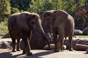 Elephants At The Pittsburgh Zoo Print by Stacy Gold