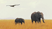 Flying Wild Bird Prints - Elephants In Grass Field With Flying Lappet Print by Joost Notten