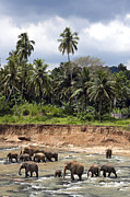 Sri Lanka Prints - Elephants in the river Print by Jane Rix