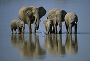 Grey Heron Posters - Elephants Poster by Jonathan and Angela Scott and Photo Researchers