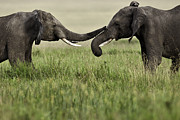 Love The Animal Photo Framed Prints - Elephants Framed Print by Manoj Shah
