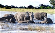 Herd Of Elephants Posters - Elephants Playing in the River Poster by Bruce W Krucke