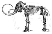 Terrestrial Drawings - Elephas by Photo Researchers Inc