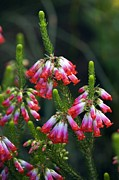 Regia Prints - Elim Heath (erica Regia) Print by Bob Gibbons