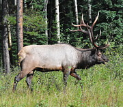 John W Walker - Elk 3