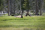 Yellowstone Digital Art - Elk Break Time by Dennis Kosak