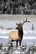 Wild Animals Photo Prints - Elk Cervus Canadensis Bull Elk During Print by Richard Wear