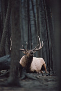 Three-quarter Length Prints - Elk Cervus Elaphus Bull Resting Print by Michael Quinton