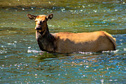 Yellowstone National Park Posters - Elk Cooling Off Poster by Robert Bales
