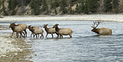Game Animal Prints - Elk Crossing The Athabasca River Print by Bob Christopher