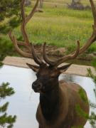 Elf Photo Prints - Elk Print by Diane  Greco-Lesser