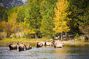 Elk Photographs Photo Prints - Elk Heard Estes Park Colorado Rut Print by James Bo Insogna