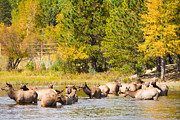 Elk Photographs Photo Prints - Elk Herd with Autumn Colors Print by James Bo Insogna