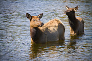 Elk Photographs Photo Prints - Elk in Colorado Estes Lake Print by James Bo Insogna