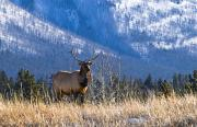 Canadian Prairies Prints - Elk In Forest, Banff National Park Print by Philippe Widling