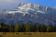 Canadian Photo Framed Prints - Elk In Meadow On Minnewanka Road Framed Print by Mike Grandmailson