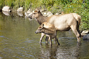 Elk In Stream Print by Nava Jo Thompson