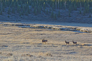 Elk In The Morning Print by Twenty Two North Photography