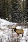 Canadian Prairies Prints - Elk In Winter Forest, Banff National Print by Philippe Widling