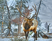 Larry Gambon - Elk in Winter