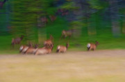 Elk Photos - Elk on the Run by Sebastian Musial