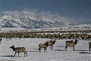 Snow Scenes Metal Prints - Elk Or Wapiti At The National Elk Metal Print by Raymond Gehman