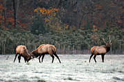 Jeka World Photography Prints - Elk Rut in Ponca  Arkansas Print by Jeka World Photography