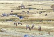 Colorado Greeting Cards Originals - Elk Soft light by James Steele