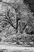 Tree Photographs Prints - Elm in Black and White Print by Rick Berk