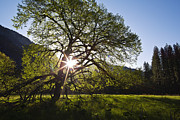 Tree Photographs Prints - Elm in Cooks Meadow II Print by Rick Berk