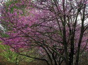 Northern Virginia Photos - Elvas Redbuds by Joyce  Kimble Smith