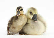 Mallard Ducklings Framed Prints - Embden X Greylag Gosling And Mallard Framed Print by Mark Taylor