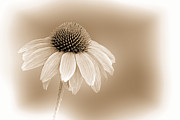 Wildflower Fine Art Prints - Embossed Sepia Corn Flower Print by Linda Phelps