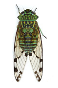 Cicada Posters - Emerald Cicada Barbilla Np Costa Rica Poster by Piotr Naskrecki