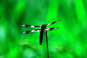 Dragon Fly Framed Prints - Emerald Dragon Fly Framed Print by Nick Gustafson