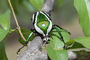 Zimbabwe Photos - Emerald Fruit Chafer Beetle by Gerry Ellis