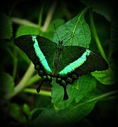 Sandy Keeton Prints - Emerald Swallowtail Print by Sandy Keeton