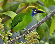Neotropics Posters - Emerald Toucanet Poster by Tony Beck