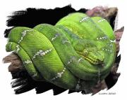 Reptiles Digital Art Originals - Emerald Tree Boa by Larry Linton