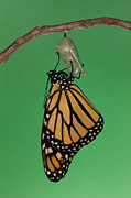Monarch Photos - Emergence I by Clarence Holmes