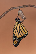 Monarch Photos - Emergence II by Clarence Holmes