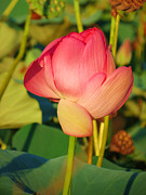 Lotus Bud Prints - Emerging lotus Print by Vijay Sharon Govender