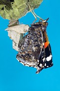 Expanding Prints - Emerging Red Admiral Butterfly Print by Dr Keith Wheeler
