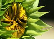 Emerging Sunflower Print by Sabrina L Ryan