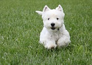 Emma The Westie On The Run Print by Jon and Chris Zombek